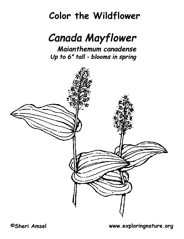 Mayflower (Canada) Coloring Page