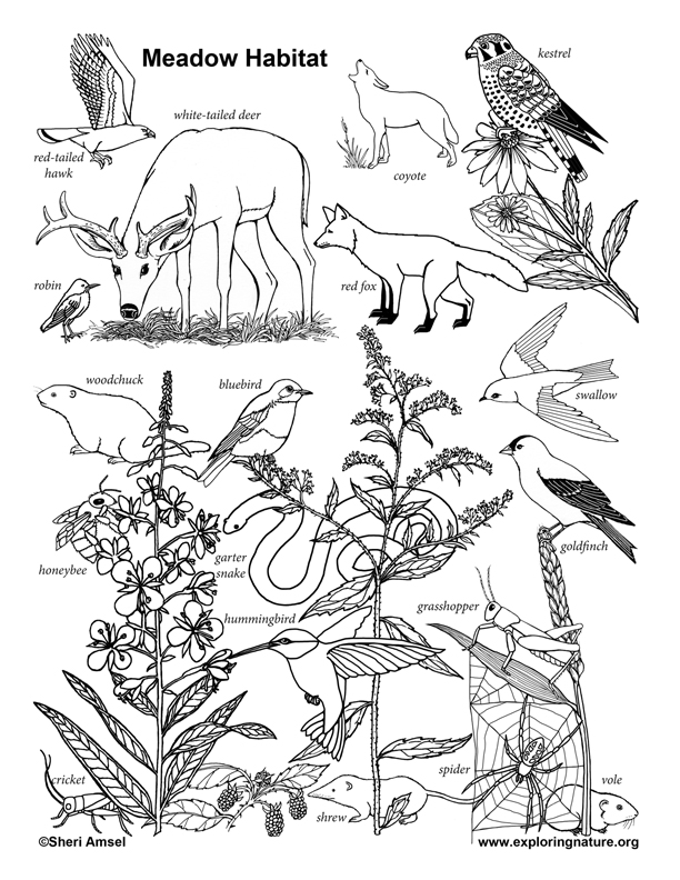 Meadow Habitat Coloring Page