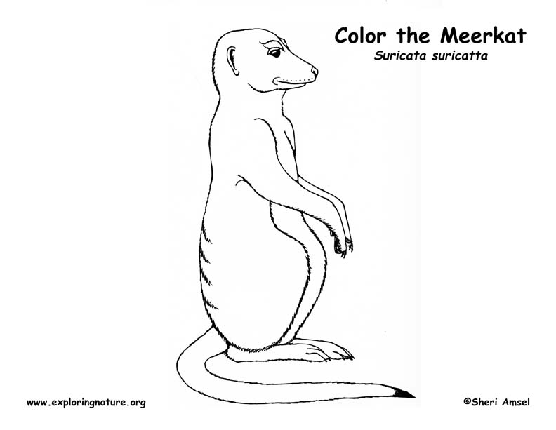 Meerkats Free Coloring Pages Meerkat Colouring Pages