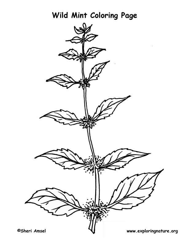 Mint Coloring Page