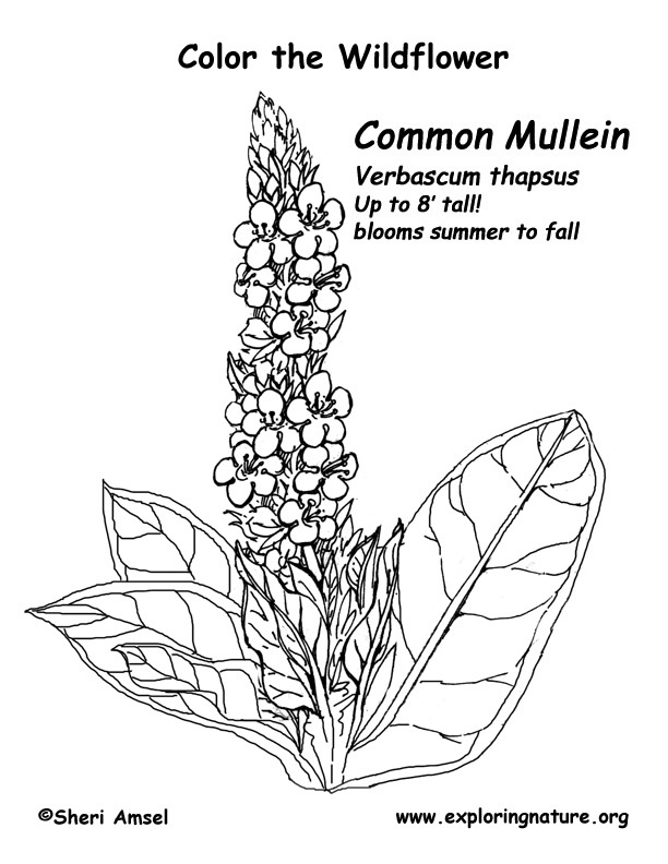 Mullein Coloring Page
