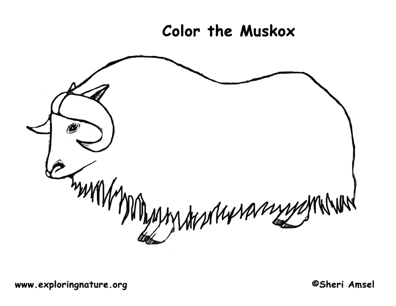 coloring pages of musk ox - photo#2