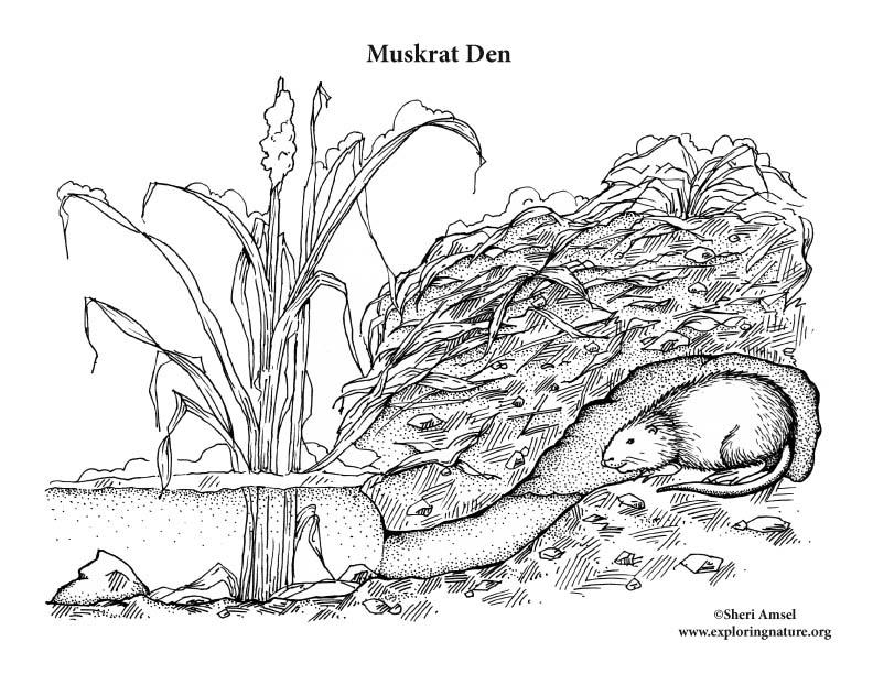 Muskrat Den Coloring Page