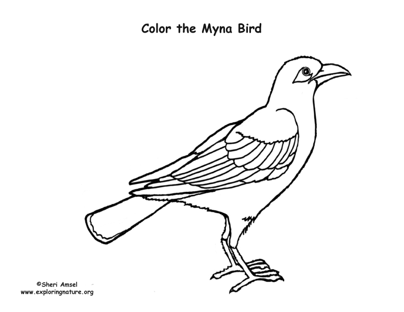 myna bird coloring pages - photo#1