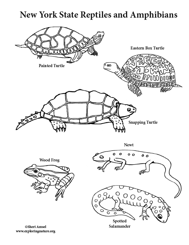 amphibian coloring pages | New York State Reptiles and Amphibians Coloring Page