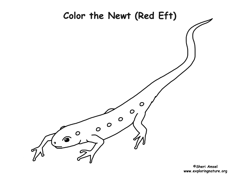 Newt coloring page red eft for Newt coloring page