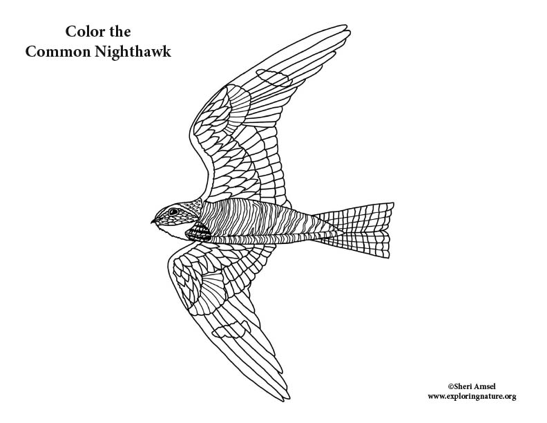 Nighthawk Coloring Page