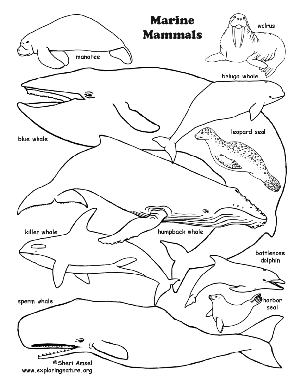 Marine Mammal Coloring