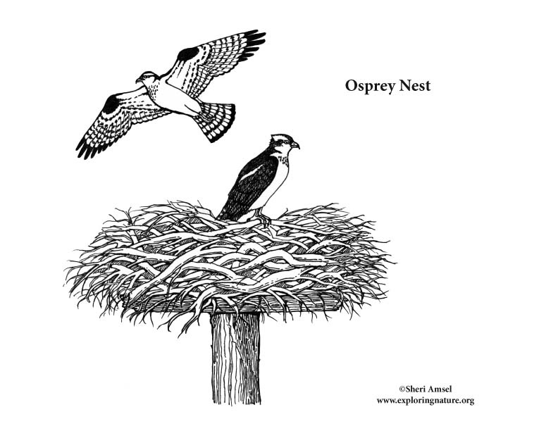 osprey coloring page - osprey nest coloring page