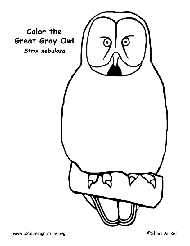 Owl (Great Gray) Coloring Page. great gray owl