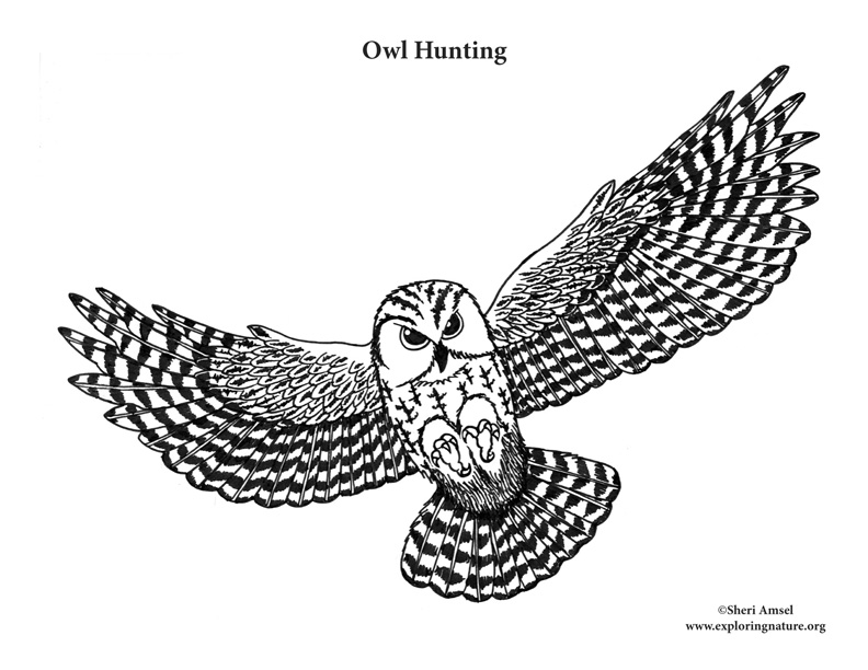Owl hunting, owl talons, color the owl as it hunts, screech owl