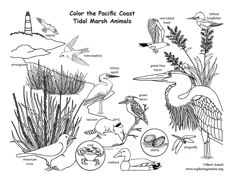 Pacific Coast Tidal Marsh Coloring