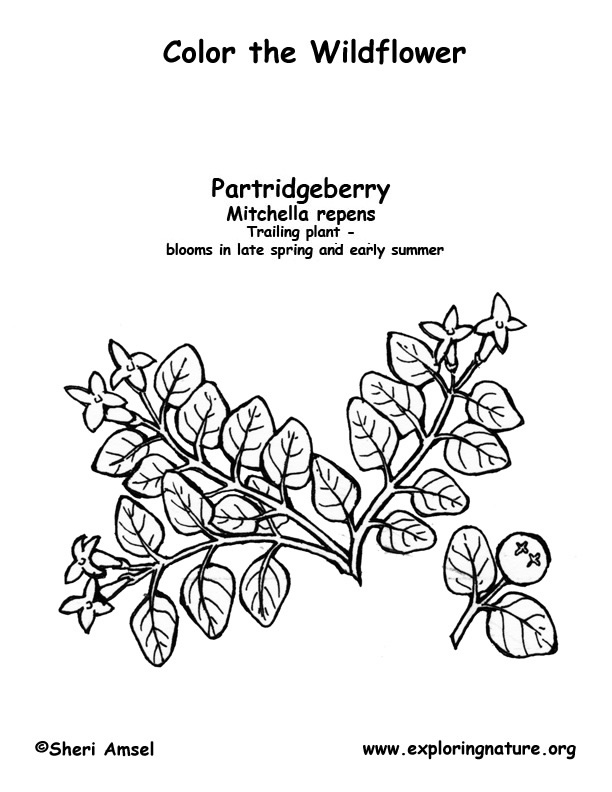 Partridgeberry Coloring Page