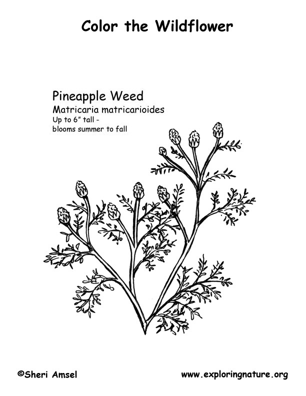 Pineappleweed Coloring Page