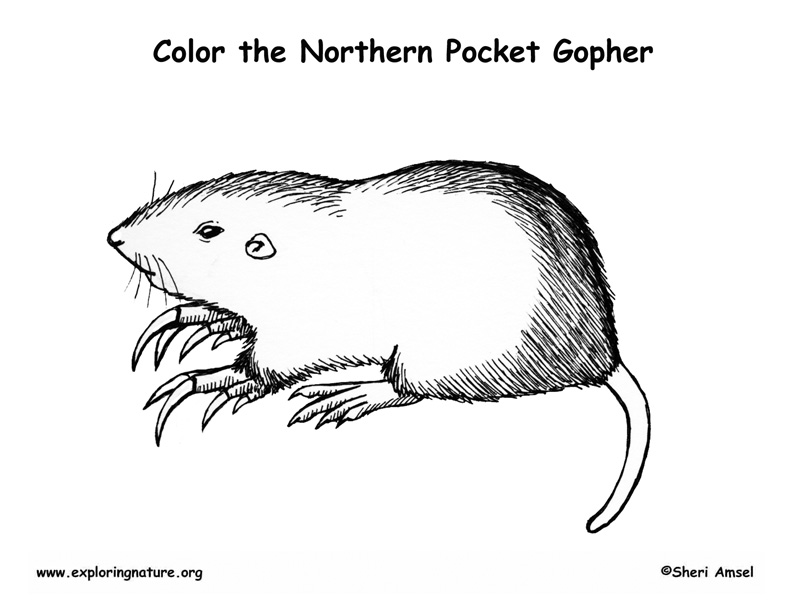 Pocket Gopher Coloring Page