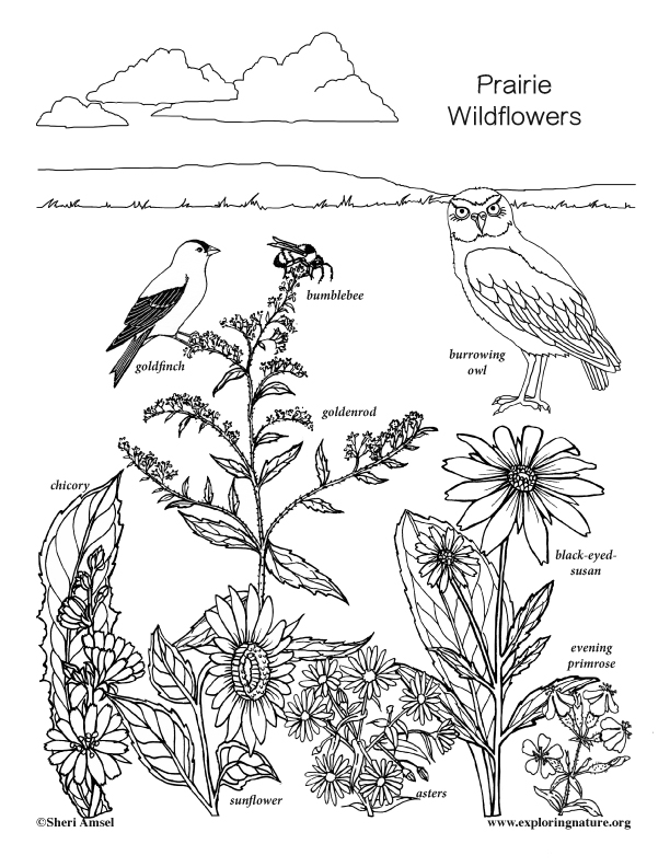 Prairie Wildflower Coloring Page