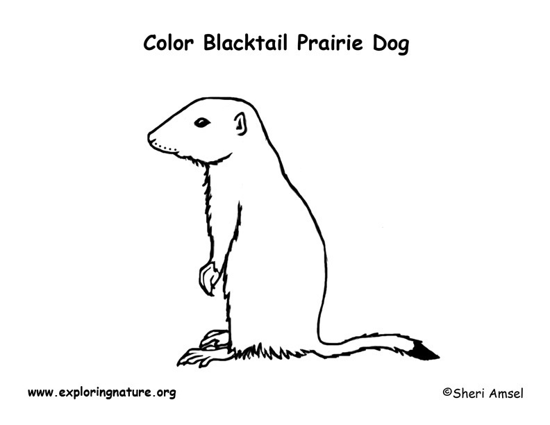 Prairie dog black tailed coloring page