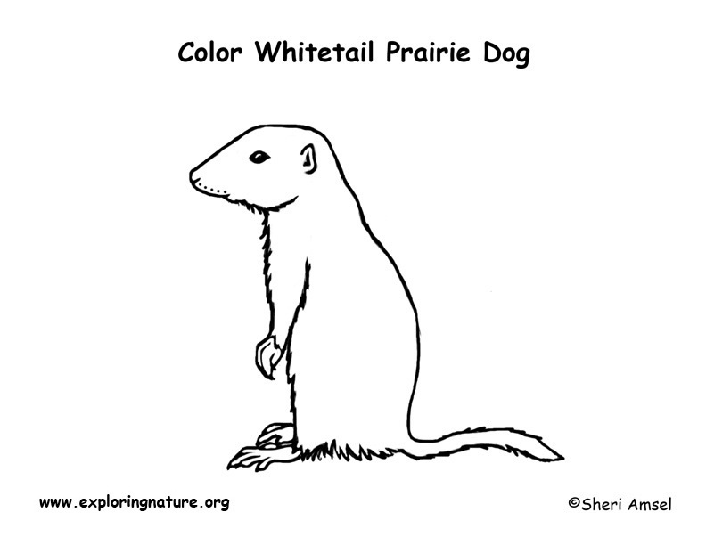 Prairie Dog White Tailed Coloring Page