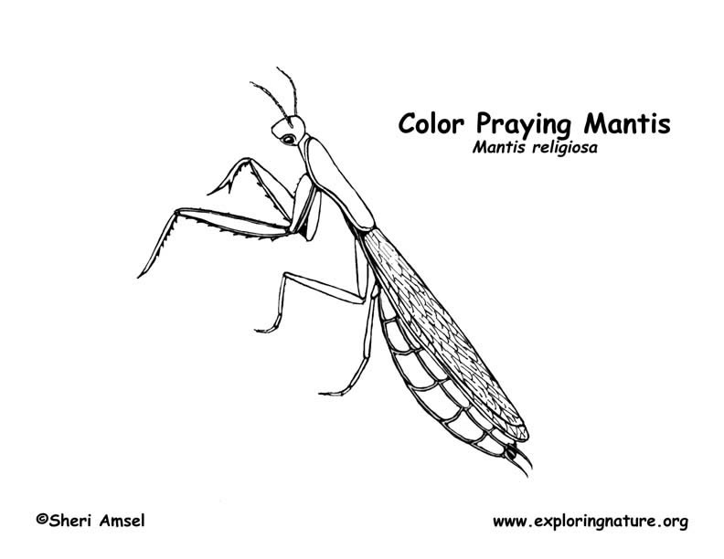 preying mantis coloring page