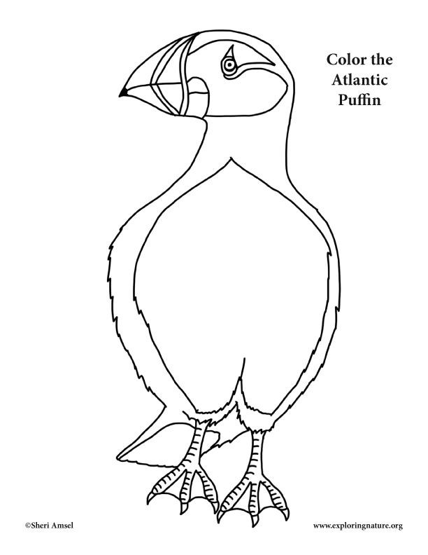 puffin atlantic coloring page