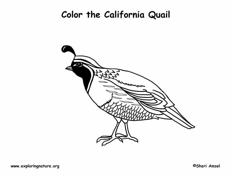 Quail (California) Coloring Page