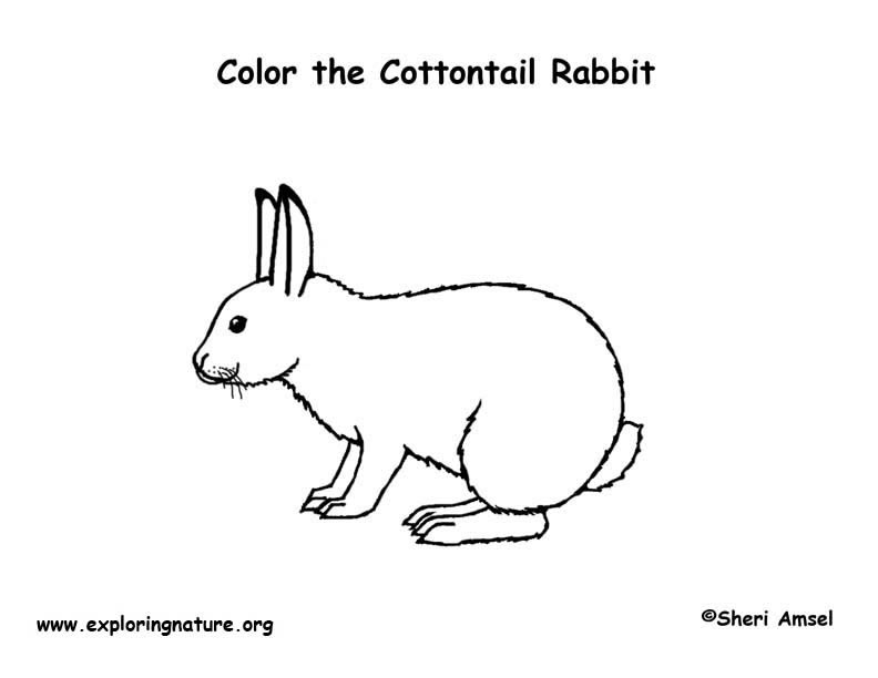 Rabbit Cottontail Coloring Page