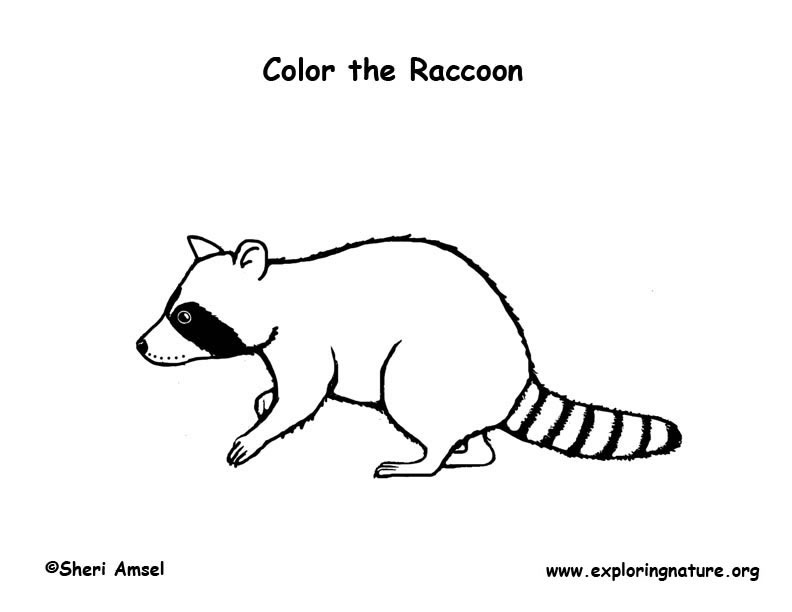 raccoon coloring page - Racoon Coloring Page