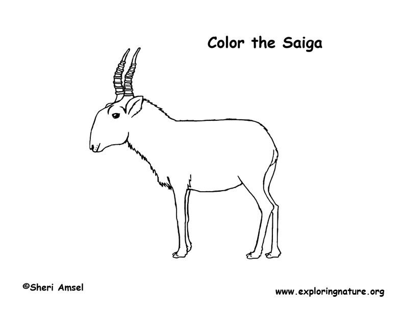 antelope  saiga  coloring page