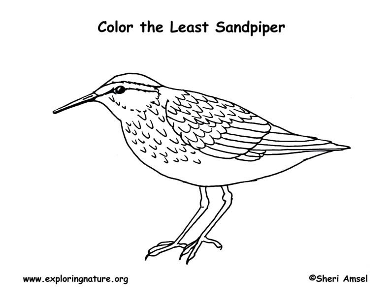 Sandpiper (Least) Coloring Page