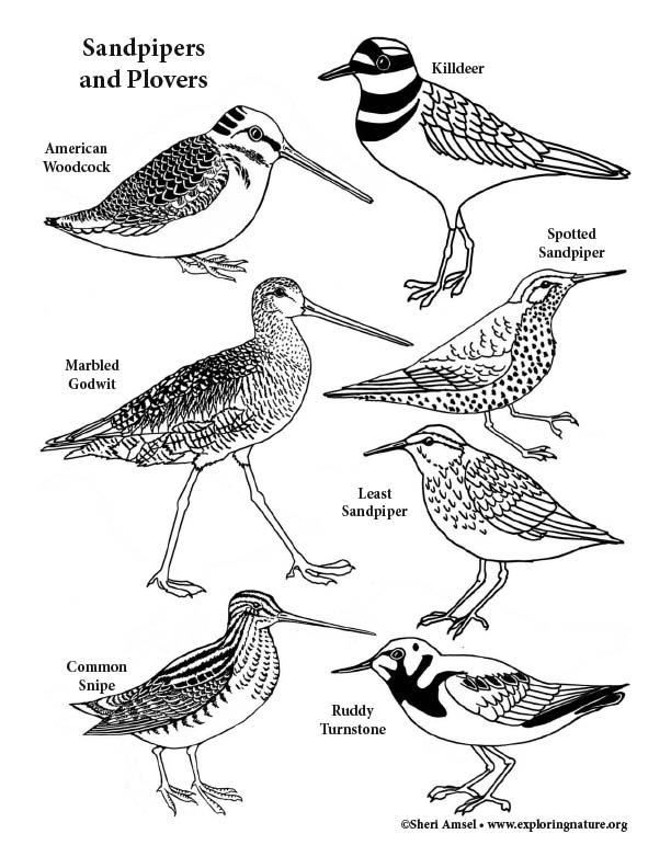 Sandpipers  and Plovers Coloring Page