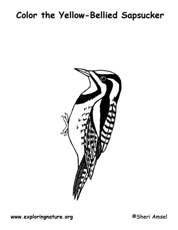 Sapsucker (Yellow Bellied) Coloring Page