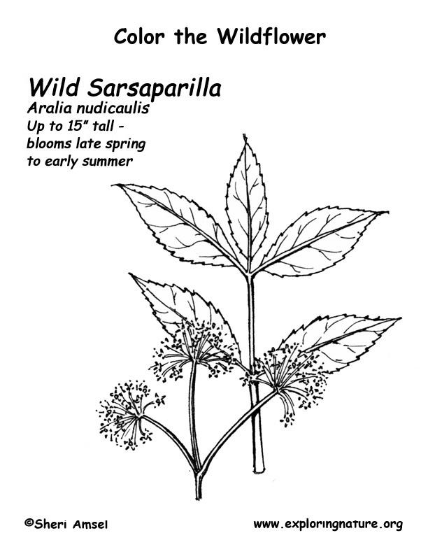 Sarsaparilla Coloring Page