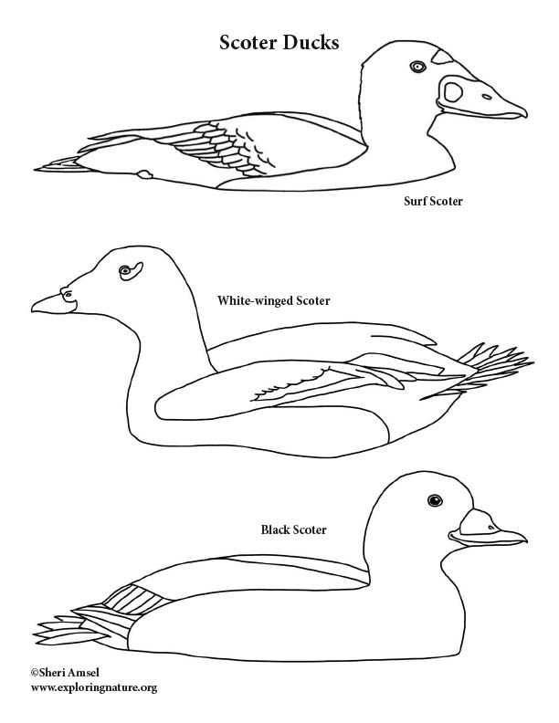 Scoter Ducks Coloring Page