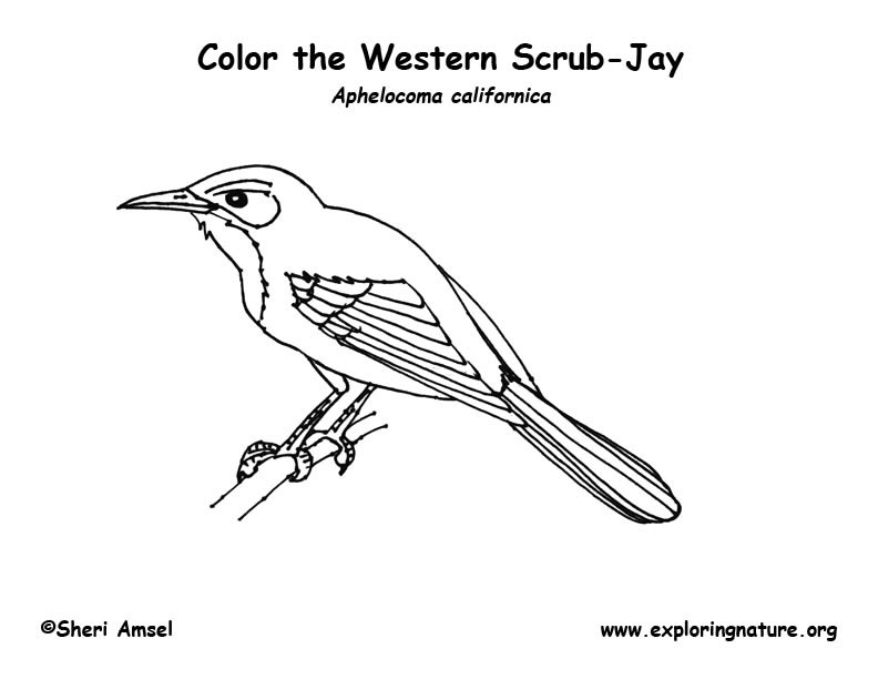 Jay (Scrub) Coloring Page