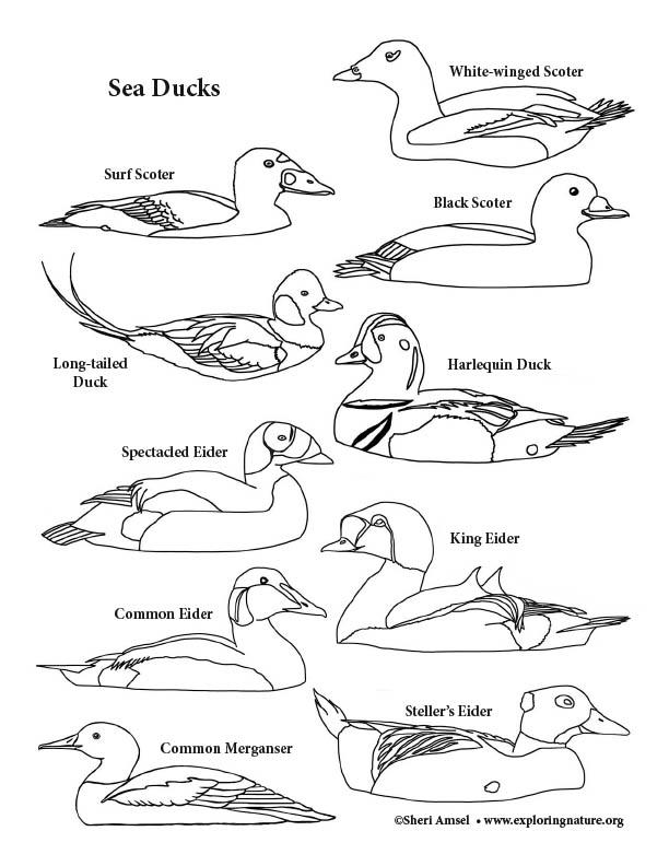Sea Ducks Coloring Page