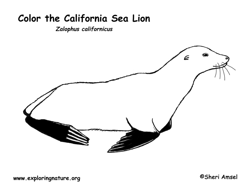 sea lion california coloring page