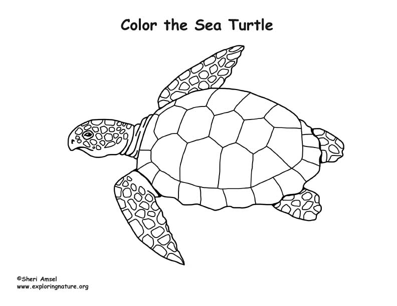 Sea Turtle (Loggerhead) Coloring Page