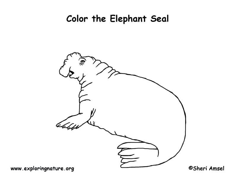 Seal Elephant Coloring Page