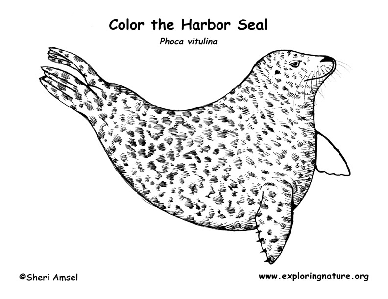 harbor seal coloring pages - photo#2