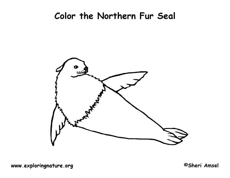 Northern Fur Seal Coloring Page