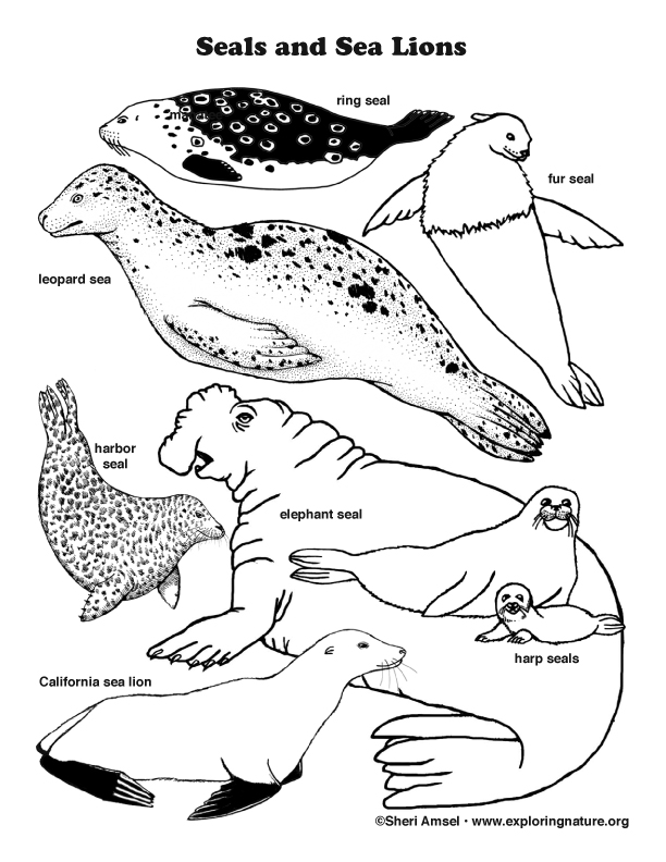 Seals and Sea Lions Coloring Page