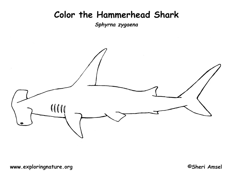 Coloring pages hammerhead shark coloring page for Free printable shark coloring pages
