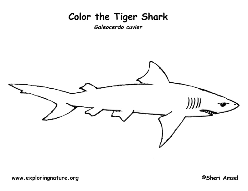 Shark (Tiger) Coloring Page -- Exploring Nature Educational Resource
