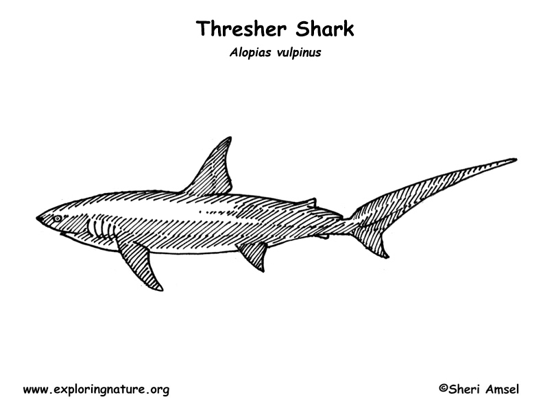 Shark thresher coloring page for Thresher shark coloring page
