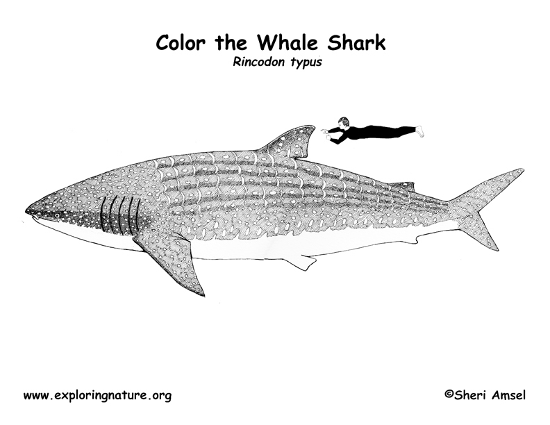 Shark Whale Coloring Page