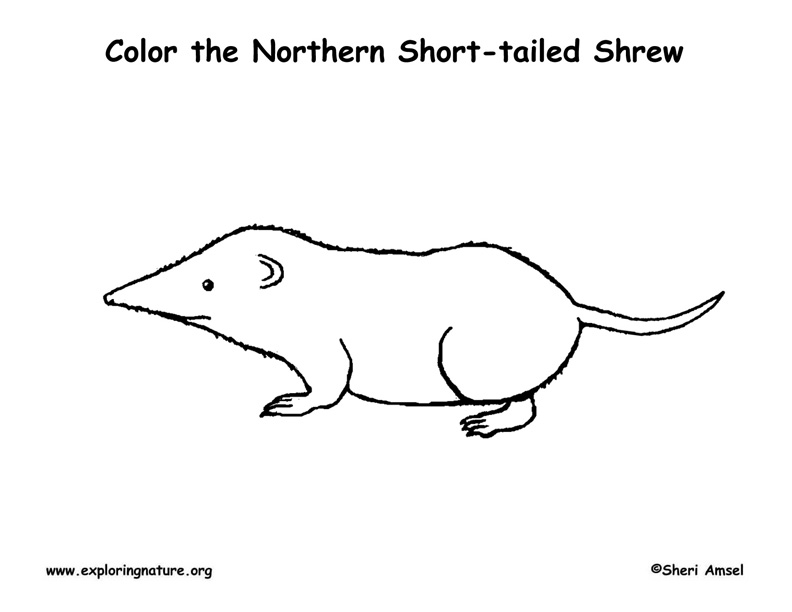 Shrew (Short-tailed) Coloring Page