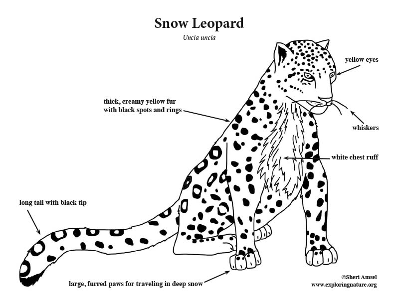 Baby Snow Leopard Coloring Pages Coloring Pages Snow Leopard Coloring Pages