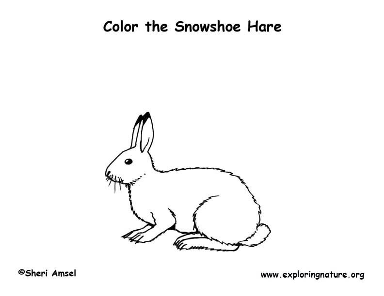snowshoe hare coloring page hare snowshoe coloring page