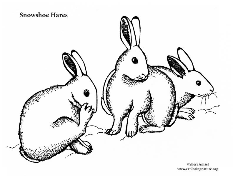 Snowshoe Hares Coloring Page
