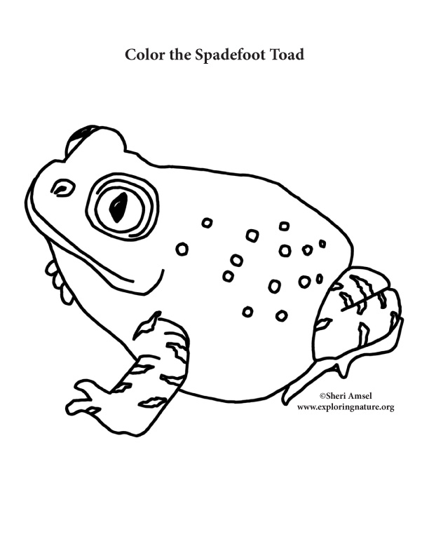 Toad (Spadefoot) Coloring Page